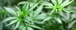PPE for Growers of Cannabis, Hemp & Marijuana