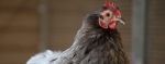 Keeping Livestock and Workers Protected From Avian Flu